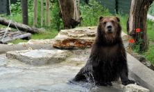 Il Bioparco accoglie tre cuccioli di orso bruno maltrattati in Albania