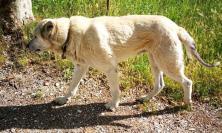 Il cane terremotato: 60 km per tornare nei suoi luoghi