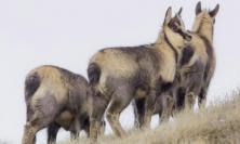 Parco dei Sibillini, cresce la popolazione del camoscio appenninico