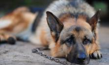 Gli trovano un cane morto in casa e 2 maltrattati: denunciato un 58enne