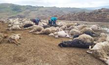 Lupi attaccano un ovile: morte cento pecore