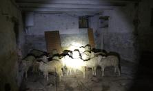 Morrovalle, i Carabinieri Forestali salvano 26 agnelli da una macellazione clandestina (FOTO)