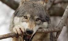 Esteso il fondo spese per i danni causati dai lupi: delibera della Giunta regionale