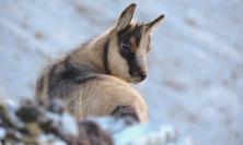 Censimento del camoscio appenninico: nuovi esemplari sul Monte Priora