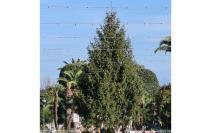 Civitanova, arriva in piazza l'albero di Natale: sarà acceso l'8 dicembre