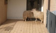Macerata, esce e trova due pecore all'ingresso del condominio