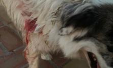 """Potenza Picena, """"I miei cani azzannati più volte da un lupo nell'arco di 20 giorni"""": l'allarme di un cittadino"""