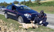 Ancona, investimento fatale per una lupa: la carcassa è stata rinvenuta sulla strada