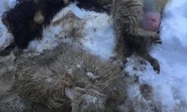 Strage di animali a Gualdo dopo giorni di agonia - FOTO