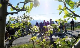 Si è svolta ieri la festa per la fioritura della mela rosa a Monte San Martino
