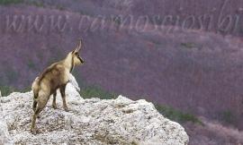 Il camoscio Berro trasferito dall'Area Faunistica di Bolognola al Parco Nazionale del Gran Sasso