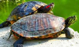 Recanati, infastidiscono le tartarughe di Villa Colloredo: interviene la Municipale