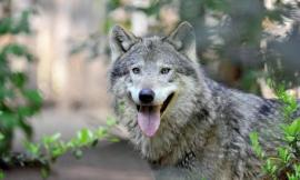 Giunta Marche, 3 milioni di euro per contenere i danni causati dai lupi al patrimonio zootecnico