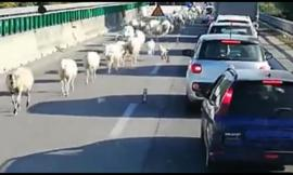 Superstrada... largo alle pecore!