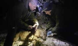 Progetto wolfnet2.0, due collari satellitari applicati a due lupi nel Parco Nazionale dei Monti Sibillini