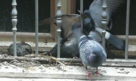 Macerata, battaglia tra piccioni: assalto al nido di un pulcino (VIDEO)