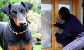 Azzannato dal cane, ladro in fuga sanguinante a Montecosaro