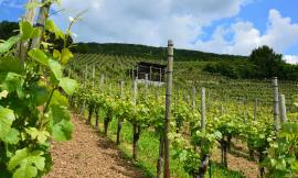 Slow Wine 2019 premia i vini marchigiani: il Verdicchio spicca fra tutti