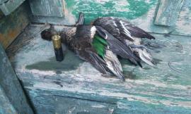 Porto Recanati, abbattuti esemplari di anatre selvatiche protette: denunciato un cacciatore