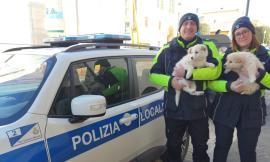 San Severino, cuccioli di Maremmano abbandonati sul ciglio della strada: salvati e recuperati