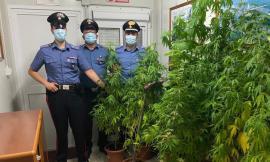 Valfornace, coltiva marijuana nel giardino di casa: arrestato pizzaiolo di 29 anni