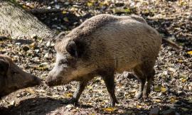 Tolentino, i cinghiali fanno troppi danni: autorizzata battuta di caccia nei pressi del parcheggio Filzi