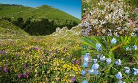 Sarnano, lo spettacolo della fioritura dei Piani di Ragnolo a Primavera: i Sibillini vestiti a festa