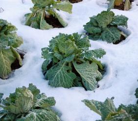 Le gelate mettono a rischio i raccolti: danni agli ortaggi a Morrovalle e a uliveti e frutteti di Urbisaglia