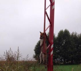 Trovata una volpe impiccata lungo la strada fra Poggio San Vicino e Cupramontana