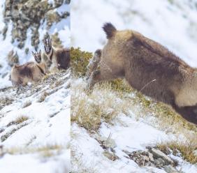 Ussita, la neve fresca e i candidi camosci negli scatti di Simone Gatto
