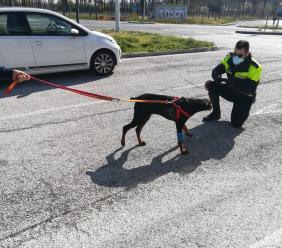 Tolentino, cucciolo di dobermann maltrattato dal padrone: scatta la denuncia