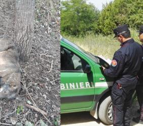 Un lupo resta intrappolato in una corda di acciaio: salvato dai Carabinieri Forestali