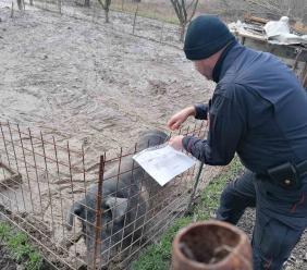 Maiali sequestrati a Fiuminata: da Milano se ne chiede l'affido per salvarli dal macello