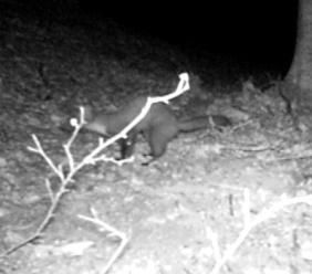 Parco dei Sbillini, è tornata la martora: animale ripreso in un video