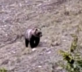 """Orso sui Sibillini, l'ente Parco: """"Animale non pericoloso, ma è importante non infastidirlo"""""""