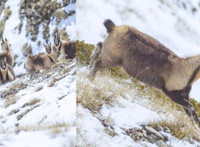 Ussita, la neve fresca e i candidi camosci negli scatti di scatti Simone Gatto