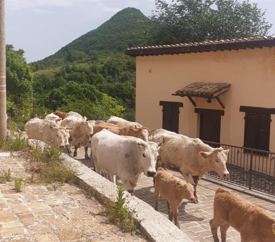 La transumanza con le mucche da Monte Cavallo all'Oasi di Monte Fiatone (FOTO E VIDEO)