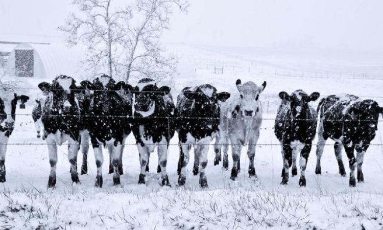 Ussita, gli animali fuori congelano: l'allevatrice li riporta nella stalla inagibile