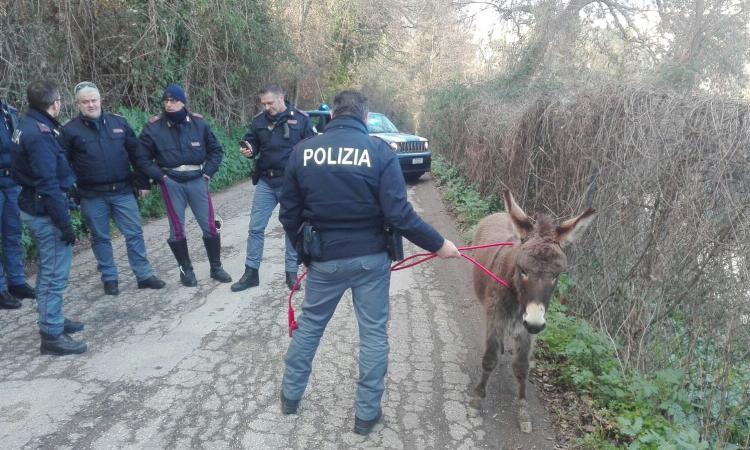 Macerata, traffico in tilt per... un asino in fuga: la polizia lo cattura vicino al palasport