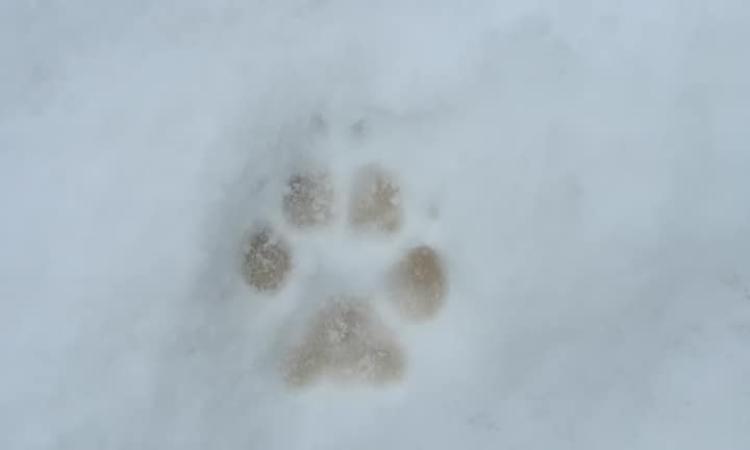 Camerino, la neve rivela l'impronta di un lupo vicino alla Sorgente di Figareto (FOTO)