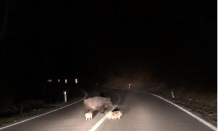 Sarnano, cuccioli di cinghiale invadono la carreggiata della Provinciale nella notte (VIDEO)