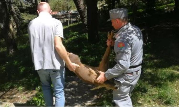 Giovane capriolo avvistato a Porto Recanati: pronto intervento dei Carabinieri Forestali (VIDEO)