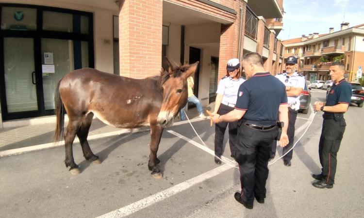 San Severino, mulo a spasso per le vie della cittadina: la Polizia Locale lo recupera