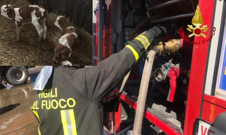 San Severino, vasto incendio in una stalla di vitelli dell'azienda agricola Coronati