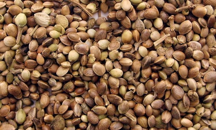 Semplice guida per l'acquisto dei semi di cannabis