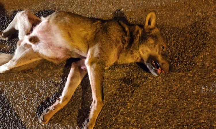 Loro Piceno, i lupi scendono a valle: esemplare travolto e ucciso in Contrada Grazie Fiastra