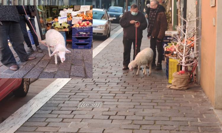 Tappa a Macerata dopo quella di fine 2020 a Tolentino: la pecorella fa capolino in corso Cairoli (FOTO)