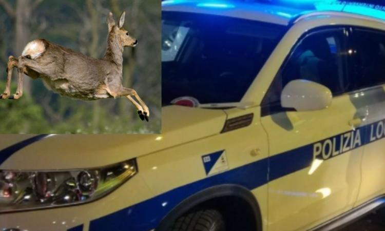 Macerata, auto travolge un capriolo sbucato all'improvviso: terzo episodio in due settimane