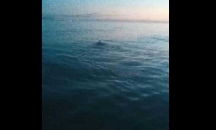 Avvistamento incredibile a Civitanova: un piccolo cerbiatto nuota in mare aperto