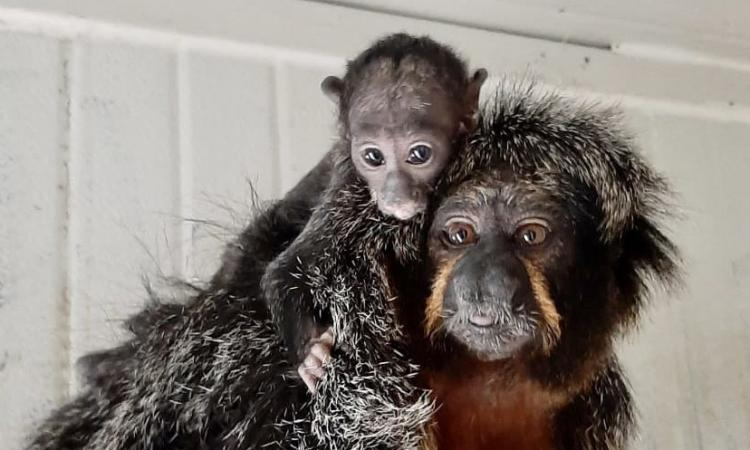 Riapre i battenti il Parco Zoo: è festa per la nascita di un cucciolo di scimmia saki